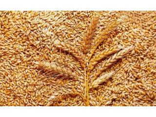 Пшеница фураж 5 класс