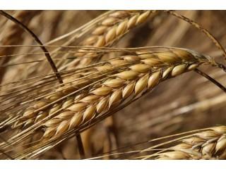 Продажа: ячмень, пшеница, кукуруза