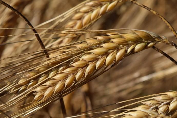 prodaza-yacmen-psenica-kukuruza-big-0