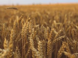 Купим пшеницу 3,5 класса